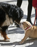 Dogs in love. Size and differences does not stop the love of these two dogs Stock Images