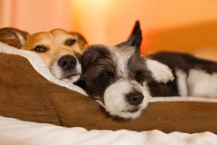 Dogs in love. Couple of dogs in love close and cozy together sleeping and relaxinf on bed cuddeling in embrace low light photo stock photography