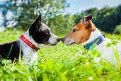 Dogs in love. Couple of dogs in love kissing with nose in park outdoors , dating and flirting close together on summer vacation holidays Royalty Free Stock Photography