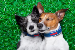 Dogs in love. Couple of dogs in love very close together lying on grass in the park Royalty Free Stock Images