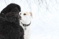 Dogs in Love Royalty Free Stock Photography