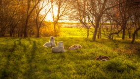 Dogs lying on meadow Royalty Free Stock Photos