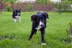Dogs on the meadow Royalty Free Stock Photo