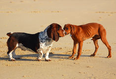 Dogs meeting Royalty Free Stock Images