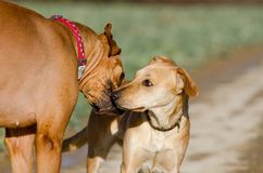 Dogs meeting. Two dogs sniffing each other Royalty Free Stock Image