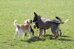 Dogs meeting. Group of dogs meeting on lawn Stock Image