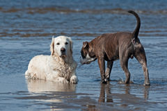 Dogs meeting on the beach Royalty Free Stock Photography