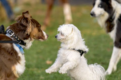 Dogs meeting Royalty Free Stock Image