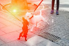 The dogs met on the street. Black dachshund and white bull terrier dog are getting acquainted. Sunny day stock photos
