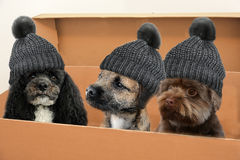 Dogs in moving box. Three dogs with bobble hat sitting in a moving box royalty free stock photography