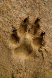 dogs mudspåret Royaltyfri Fotografi