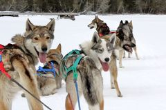 dogs mush Royaltyfri Fotografi