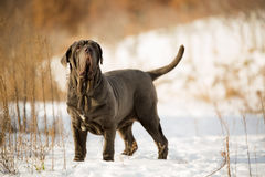 Dogs Neapolitan mastiff. Playing on snow Stock Images