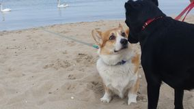 Dogs. New friends. Meeting on the beach Stock Photography