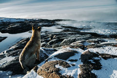 Dogs on northshore at Barents Sea Stock Image