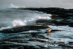 Dogs on northshore at Barents Sea Royalty Free Stock Images