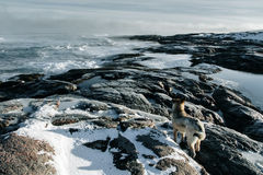 Dogs on northshore at Barents Sea Stock Images
