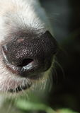 Dogs nose. A close up of a dogs nose Royalty Free Stock Images