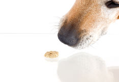 Dogs nose and cookie Stock Photo