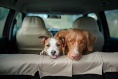 Dogs Nova Scotia duck tolling Retriever and Jack Russell Terrier. In the car in the back seat Royalty Free Stock Images
