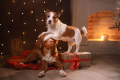 Dogs Nova Scotia Duck Tolling Retriever and Jack Russell Terrier Christmas, new year, holidays and celebration stock image