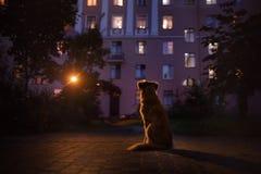 Dogs Nova Scotia Duck Tolling Retriever On The Street At Night Royalty Free Stock Photos