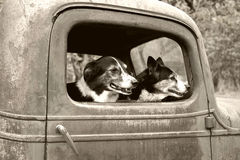 Dogs in old truck Stock Images