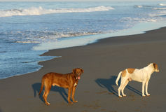 Dogs On Beach, Mexico Royalty Free Stock Image