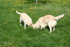 Dogs On Walk Stock Photo