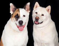Dogs Over Black Background Royalty Free Stock Photography