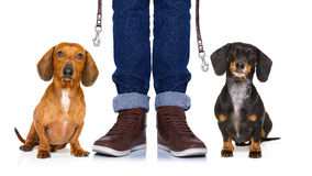 Dogs and owner with leash royalty free stock photography
