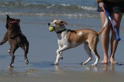 Dog Beach - Two dogs after the same ball. Dogs and owner playing fetch at Dog Beach royalty free stock photo