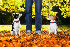 Dogs and owner. Two happy dogs with owner sitting on grass in the park , looking up royalty free stock photo