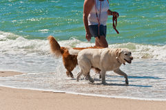 Dogs and owner walking along a beach in the water Stock Image
