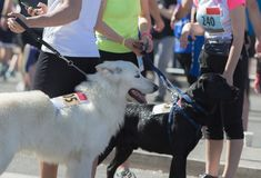 Dogs and owners at marathon start stock image