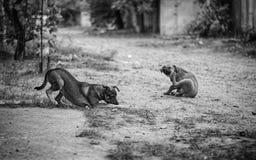 dogs pack stray Στοκ Φωτογραφία