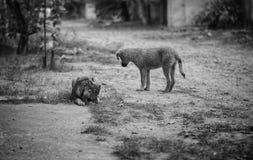 dogs pack stray Στοκ Φωτογραφίες