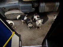 dogs pack stray Fotografering för Bildbyråer