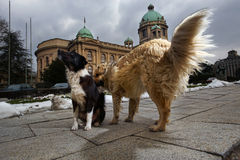 dogs pack stray Royaltyfria Bilder