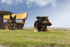 Dogs in the park and bench with table Stock Images