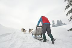 Dogs participating in the Dog Sled Racing Contest.  royalty free stock images