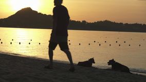 Dogs and passing man on a background of sunrise on Lamai Beach in Koh Samui Island, Thailand stock footage video. Dogs and passing man on a background of sunrise stock video footage