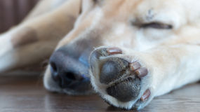 Dogs Paw. Focus on Labrador paw Royalty Free Stock Photography