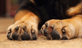 Dogs paws. Closeup of shepherd dog's paws lying on the carpet royalty free stock photo
