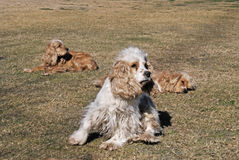 Dogs pay attention. Cocker Spaniel Dogs Pay Atttention Royalty Free Stock Photos