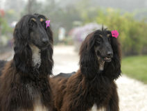 Dogs pets  Afghan Hound. Two attractive dogs . pets Afghan Hound Royalty Free Stock Photos