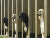 Dogs  pets  Afghan Hound Stock Photo