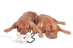 Dogs on the phone Royalty Free Stock Photo