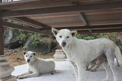 Dogs. Photo image  with white sheep dogs Royalty Free Stock Photo