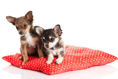 Dogs on the pillow chihuahua isolated on white background Stock Image